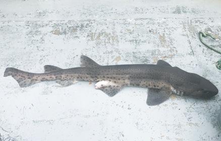 Fishing Westport - Shark